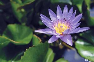 violett lotusblomma med gröna blad i dammen foto