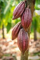 kakaoträd med kakaofrön i en ekologisk gård foto