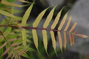 gulgrönt rönnblad foto