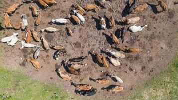 Flygfoto över kor syn från drönare flyg över betesmark på landsbygden foto