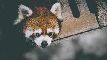 ett frontalt porträtt av en röd panda foto