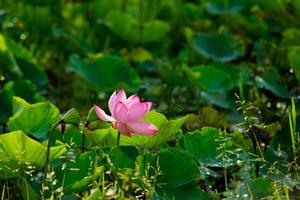 lotusblomma på morgonen foto