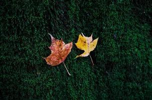 två små gula höstlönnlöv på grön mossa foto