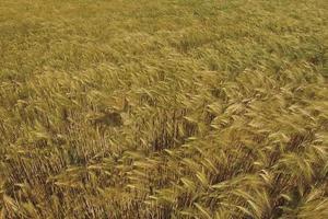 fält av vete i slutet av sommaren helt mogna foto