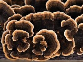 närbild av en attraktiv brun mönstrad svamp som växer på en stupad trädstam ovanifrån foto