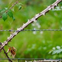 växter på taggtrådsstaketet foto