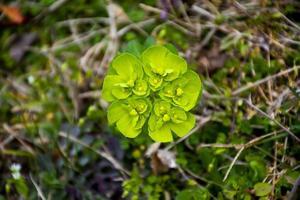 grön euphorbia närbild foto