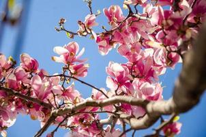blommande magnolia i vårblommor på ett träd mot en ljusblå himmel foto