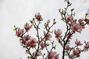 rosa och vita magnoliaknoppar på ett träd på våren foto