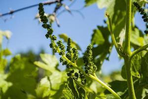 små gröna druvor foto