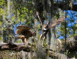 parning av vuxna stora hornuglor bubo virginianus mot varandra, flaxande vingar, i ek med uppståndelse ormbunke pleopeltis polypodioides foto