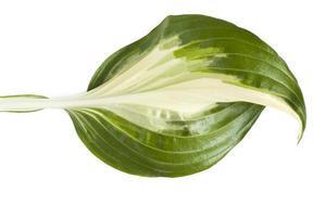 färskt tropiskt blad isolerad på vit bakgrund. blad värdar för design foto