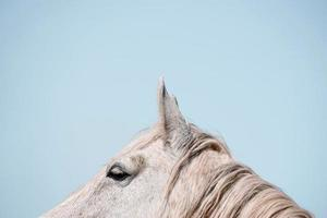 vacker vit häst porträtt foto