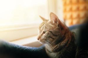 tabby katt tittar i fönstret. foto