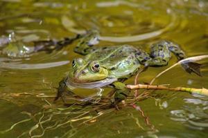 groda på en lokal damm på våren foto