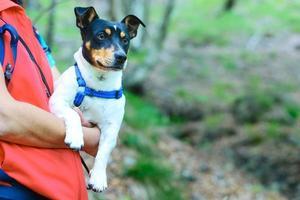 jack russell hund i armarna på sin älskarinna i naturen foto