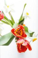 vårröda tulpaner foto
