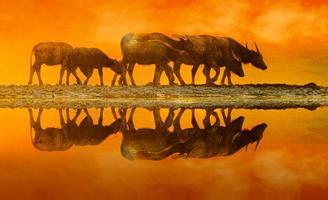 buffalo gyllene ljus äng buffalo flock foto