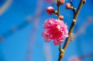plommonblomning rosa blommande blå bakgrund foto