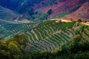 tea farm ekologisk tea farm 2000 doi ang khang chiang mai thailand på morgonen foto