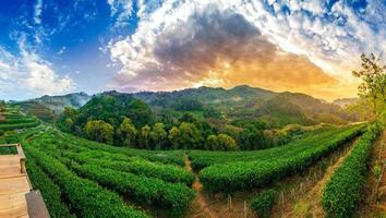 tea farm ekologisk tea farm 2000 doi ang khang chiang mai thailand i morgonpanorama foto