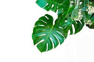 monstera lämnar blad med isolat på vit bakgrund lämnar på vitt foto