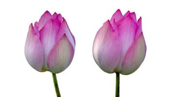lotus kunglig rosa isolera vit bakgrund foto