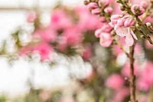 vacker blommig våren abstrakt natur bakgrund. grenar med rosa körsbärsblommor, sakura. för påsk- och vårkort med kopieringsutrymme foto