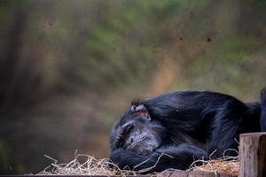 schimpans sover i djurparken foto
