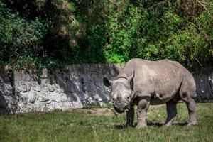 svart noshörning i zoo foto