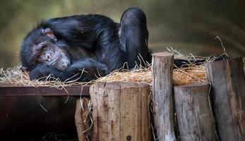 schimpansen sover i djurparken foto
