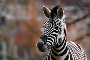 porträtt av zebra foto