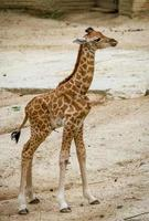 liten giraff i djurparken foto