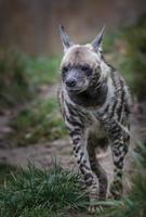 randig hyena går på väg foto