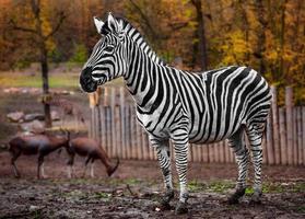 zebra i zoo foto