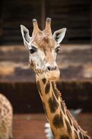 porträtt av giraff foto