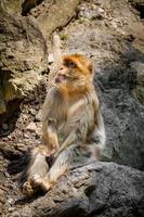porträtt av barbary macaque foto