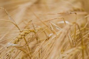 detalj av korn foto