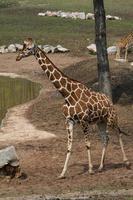 giraffer i zoo foto