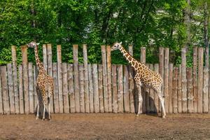 giraffer i naturen foto