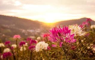 vackert bergslandskap med soluppgång och blommande lila och vita blommor på vårfältet. foto