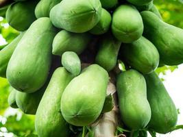 grupp av rå holländska papaya frukter är på papaya trädet. begreppet ekologiskt jordbruk. foto