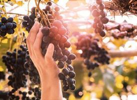 närbild hand som håller klasar av mogna druvor före skörd i trädgården. foto