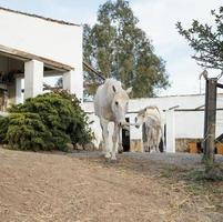 hästar som strövar fritt på gården foto