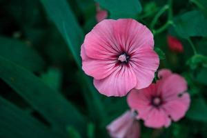 rosa ros malva blommor med mörkt centrum på mörk bladig bakgrund foto