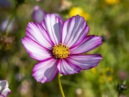 rosa och vit kosmos blomma sort godis rand foto