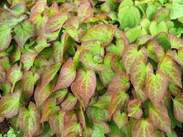 brokiga blad av kargwort epimedium versicolor sulphureum foto