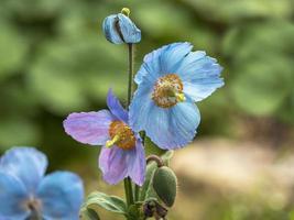 blå och lila meconopsis himalaya vallmoblommor och knopp foto