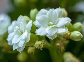 närbild av två vita blommor på en kalanchoe-växt foto