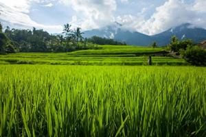 tegallalang-risterrasserna i Bali i Indonesien foto